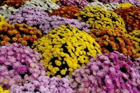 Chrysanthemes 1