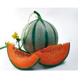 Melon greffe f1 orange beauty