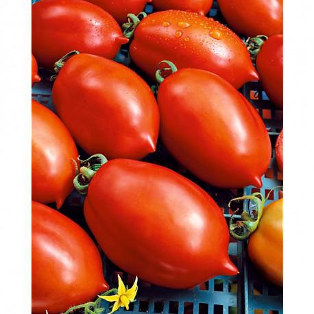 Tomate chico iii